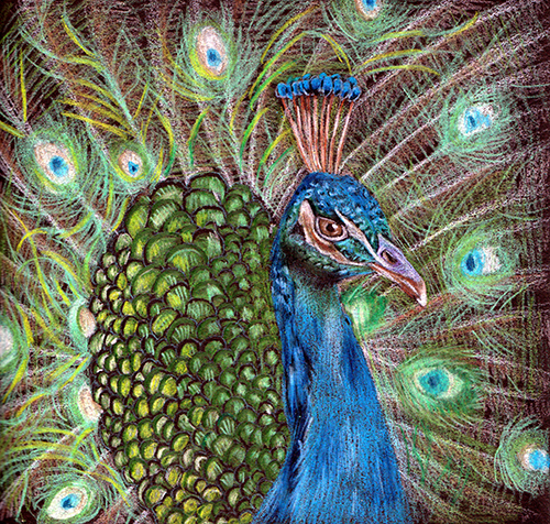 Peacock drawing by Naomi. (Bird series)